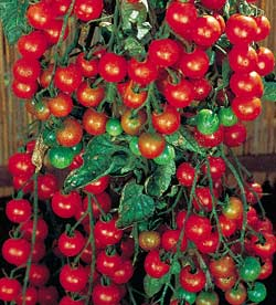 tomatoes for self sufficiency