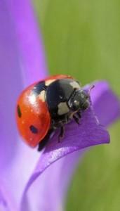 rspb_ladybird