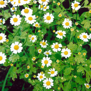 feverfew a natural remedy for migraines