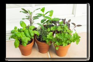 herbs growing in a windowsill