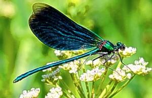 damsel butterfly
