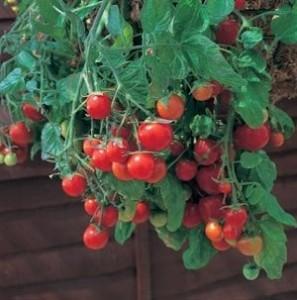 tomatoes-in-hanging-basket