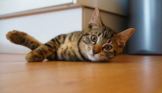 cat lying on environmentally friendly flooring